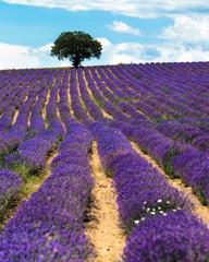 Lines of lavender