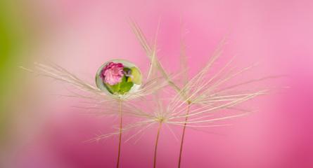 dandelion seed with water drop - macro photo