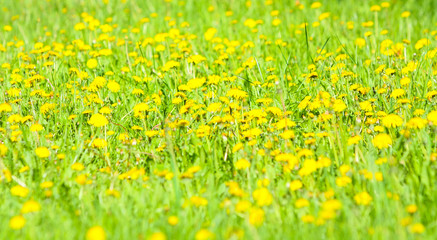Poster Jaune de seuffre Beautiful, elegant background of yellow dandelion flowers. Bright summer landscape. Natural texture. Spring abstraction. Copy space. Close up. Free space for text.