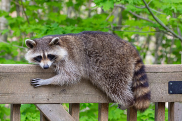 Close up of a female raccoon resting on the railing of a wooden deck against a green background.