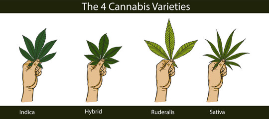 Set of cannabis by hand drawing.Hand with cannabis on white background.Leaf vector graphics design art highly detailed in line art style.