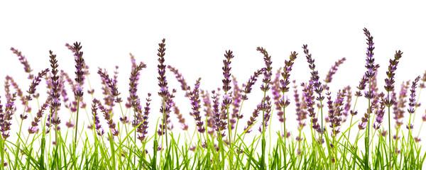 freigestellte lavendelwiese