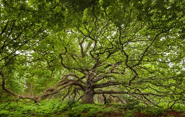 Photo sur Aluminium Vert Ancient Oak