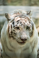 Fototapete - Close up of White Tiger