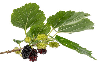 Mulberries in different maturity levels hang on the branches