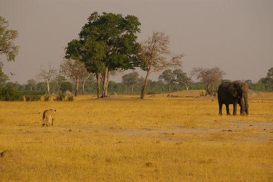 Lion stalks elephants at a watering hole