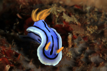 Chromodoris Nudibranch, Unidentified Species. Anilao, Philippines