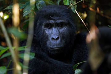 Eye Contact with a Mountain Gorilla (Gorilla beringei beringei). Bwindi Impenetrable National Park, Uganda