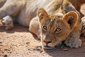 Lion Cub Lying on the Ground, Looking into the Camera. Balule Nature Reserve, Kruger Park, South Africa
