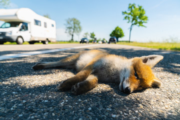 Red fox deadly in the street edge
