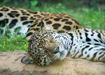 Wall Mural - Sleeping Jaguars