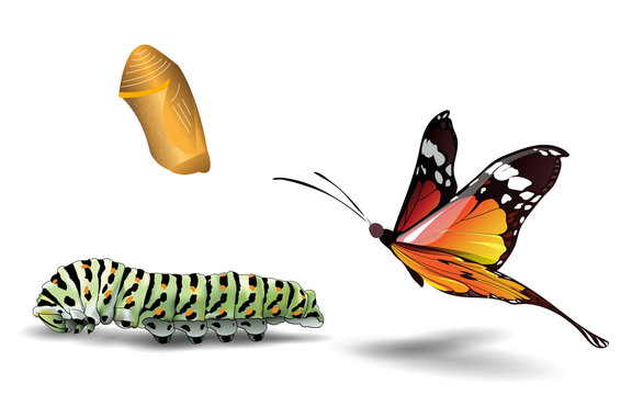 butterfly and caterpillar on the white background