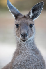 Photo sur Plexiglas Kangaroo kangaroo portrait