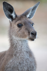 Poster de jardin Kangaroo australian wildlife