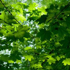 Maple foliage A