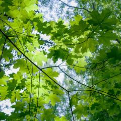 Maple foliage B
