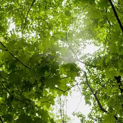 Maple foliage C