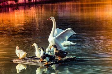 Beautiful white swan swimming in the lake near ducks