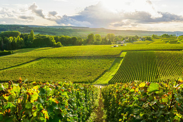 Row vine grape in champagne vineyards at montagne de reims countryside village background, Reims, France