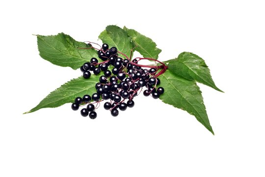Twig with elderberry and a leaf isolated