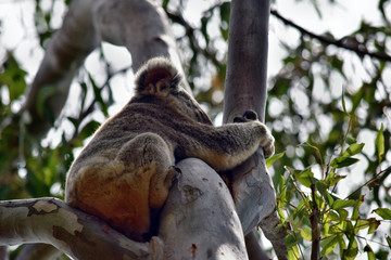 Canvas Prints Cute wild koala bear is sleeping on the tree in Noosa National Park