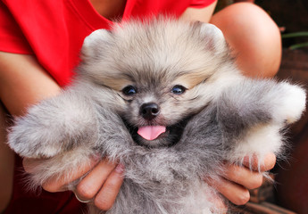 Gray fluffy pomeranian dog with tongue out from mouth and woman hand holding