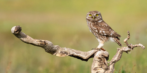 Fototapete - Little owl, Athene noctua, stands on a stick on a beautiful background