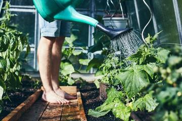 Gardener working in greenhouse