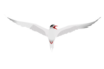 Flying bird. Tern. Vector image. White background.  Wall mural