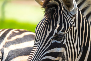 Aluminium Prints Close up of Zebra head including eye contact and fur pattern