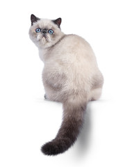 Wall Mural - Cute blue tortie point Exotic Shorthair kitten, sitting backwards. Looking over shoulder to camera with blue eyes. Isolated on white background. Tail hanging down from edge.