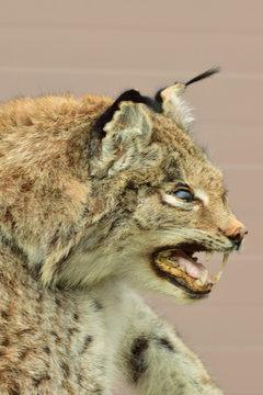 Close-up of Caucasian mountain wildcat Lynx lynx