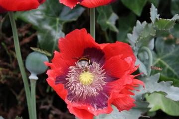 Bee in a red flower head of big poppy papaver flower