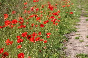 Red colored poppy flowers i the wild in Nieuwerkerk aan den IJssel