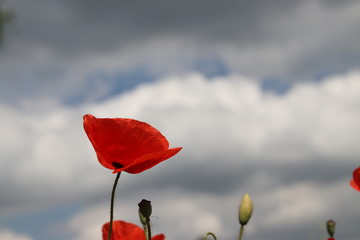 Red poppy flower with dark clouds in the sky as background.