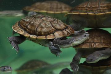 Roti Island snake-necked turtle (Chelodina mccordi)