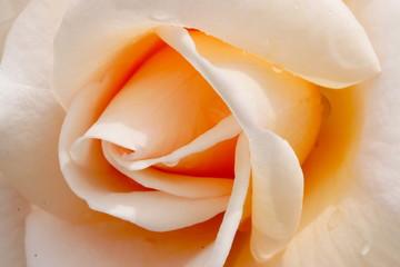 バラの花のアップ写真