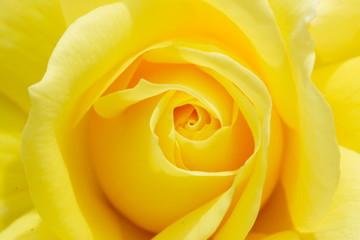 黄色いバラの花のアップ写真