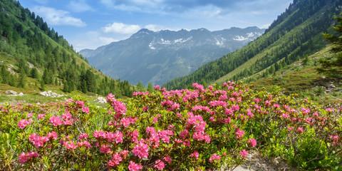 Panorama einer Berglandschaft mit bühenden Alpenrosen