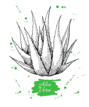 Vector hand drawn botanical Aloe Vera. Engraved illustration
