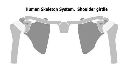 Human Skeleton System  Shoulder Girdle.  Anterior View Anatomy.  Isolated on white background. Flat design