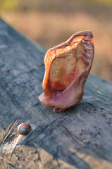 Dried Pig Ears Treats for Dogs on a dry log with a snail. Close to summer sunset in the open air