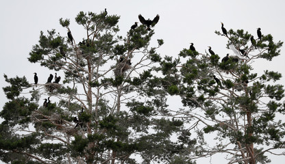 Cormorants are seen in their colony on an island in a lake near the town of Vileika