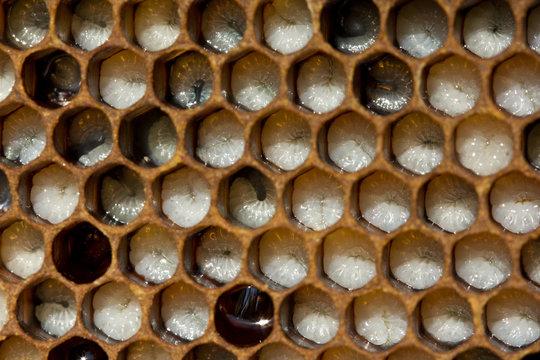 Larvae of bees