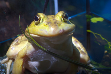 yellow frog eyes bullfrog wild amphibian animal