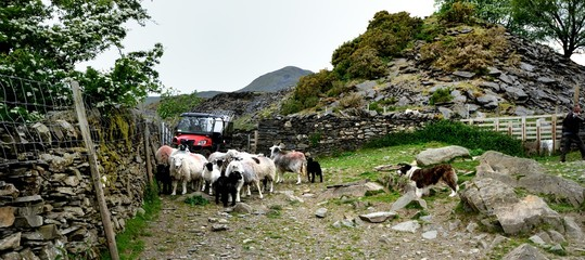 Farm Dog and the Herdwick Sheep