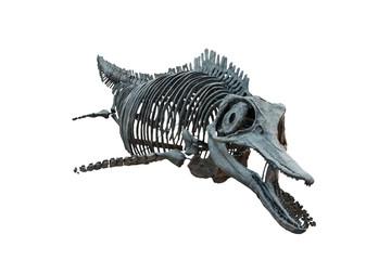 Extincted ichthyosaurus' skull isolated on white background. Dinosaur living into sea