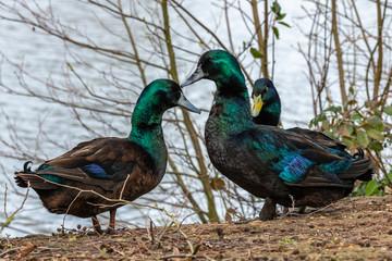 Cayuga Duck in the wild