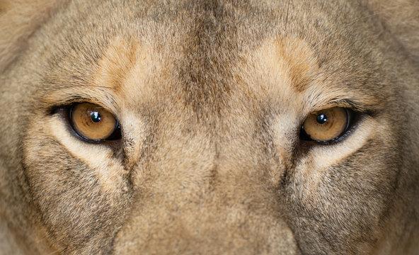 female lion eyes close up
