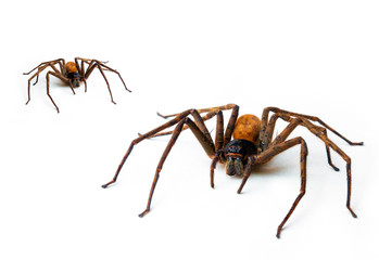 Brown spider 8-pin predator, isolated on white. With copy area